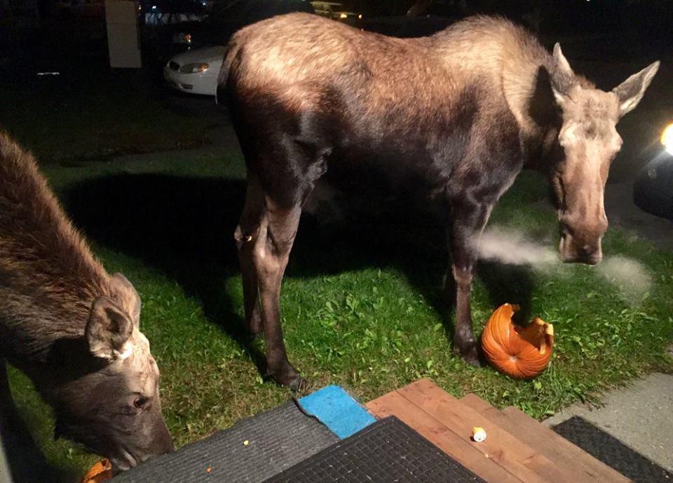 pumpkin moose alaskahealer.com